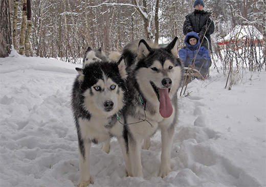 Dog-sledding in the Moscow countryside